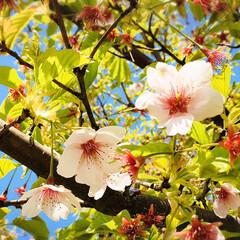 お花見/青空/フォロー大歓迎/ドライブ/風景/桜/...        2020.4.3(金)  …(5枚目)