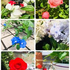 庭/紫陽花/ミニ薔薇/アメリカンブルー/ワイルドストロベリー/シルキーピンク/... ☆シルキーピンク(薔薇) ☆紫陽花 ☆ワ…