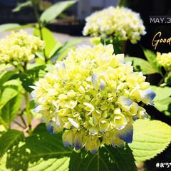 フォロー大歓迎/至福の時間/おうち時間/紫陽花/花のある暮らし/ガーデニング/...         2020.5.31(日)…