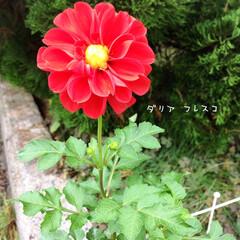 フォロー大歓迎/鉢植え/花のある暮らし/庭/リミとも部/暮らし/...       2020.10.21(水) …