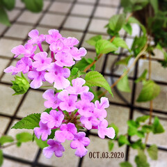 リミとも部/寄せ植え/暮らし/住まい/庭/花のある暮らし/...        2020.10.3(土) …