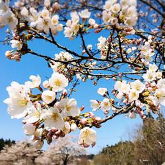 お花見/青空/フォロー大歓迎/ドライブ/風景/桜/...        2020.4.3(金)  …