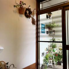 紫陽花/突っ張り棒/100均/廊下/玄関/庭/... 庭のアナベル白からグリーンに変わり☀️晴…(7枚目)