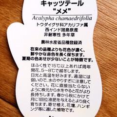 フォロー大歓迎/花/しまむら/なんじゃ村/キャッツテール メメ/100均/...        2020.3.13(金) …(2枚目)