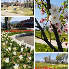 チューリップ/春のフォト投稿キャンペーン/ありがとう平成/令和カウントダウン/フォロー大歓迎/春/...   買い物前に近所の公園の🌷綺麗だったの…