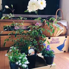 花/オールドローズ プロスペリティー/フォロー大歓迎     スーパーで🌹¥598安くなってた…