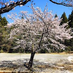 お花見/青空/フォロー大歓迎/ドライブ/風景/桜/...        2020.4.3(金)  …(2枚目)