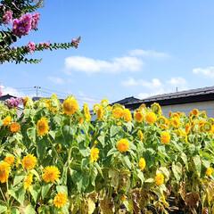 フォロー大歓迎/残暑/夏/ひまわり/風景/買い物/...        2020.8.21(金) …