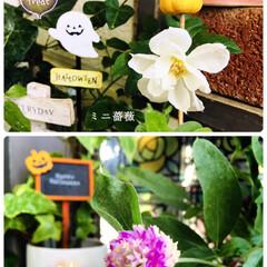 フォロー大歓迎/暮らし/リミとも部/花のある暮らし/100均/ガーデン雑貨/...        2020.10.30(金)…