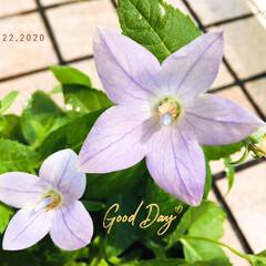 フォロー大歓迎/花のある暮らし/桔梗/キキョウ/庭/ガーデニング/...        2020.8.22(土) …