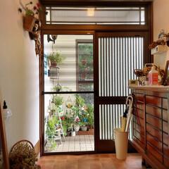紫陽花/突っ張り棒/100均/廊下/玄関/庭/... 庭のアナベル白からグリーンに変わり☀️晴…(8枚目)