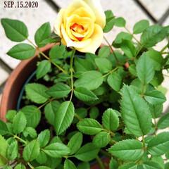 フォロー大歓迎/住まい/庭/リミとも部/ミニ薔薇/花のある暮らし/...        2020.9.15(火) …