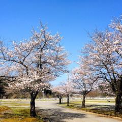 お花見/青空/フォロー大歓迎/ドライブ/風景/桜/...        2020.4.3(金)  …(3枚目)