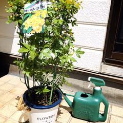 KOMERI/ガーデン雑貨/フォロー大歓迎/花/ガーデニング/モッコウバラ/...  黄色のモッコウバラ小花が可愛い庭の仲間…(2枚目)
