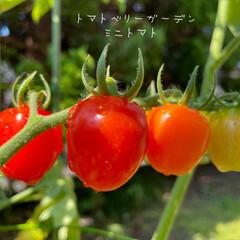 野菜/プランター菜園/おうち時間/暮らし/住まい/KOMERI/...          2021.7.22(木…(1枚目)
