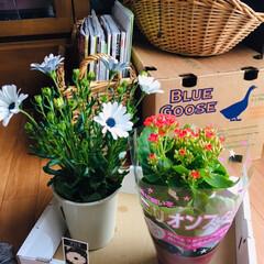 オステオスペルマム チロル/ミリオンスター/花/フォロー大歓迎/小さい春   スーパーで1鉢¥280ミリオンスター…
