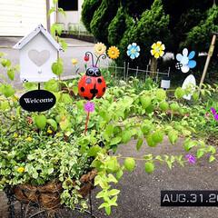 フォロー大歓迎/サンビタリア サンライト/プミラ/コバランタナ/花のある暮らし/住まい/...         2020.8.31(月)…