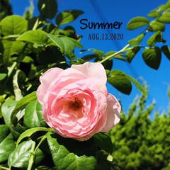 夏/花のある暮らし/薔薇/庭/住まい/暮らし/...        2020.8.13(木) …