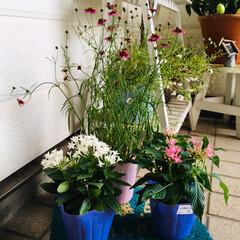 コレオプシス苗/ペンタス苗/花/フォロー大歓迎/至福のひととき/暮らし/...   ホームセンターでお花買ってきました🌸…