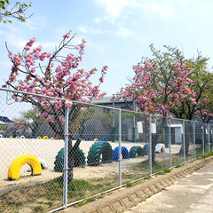 フォロー大歓迎/小学校/八重桜/風景        2020.4.30(木) …(2枚目)
