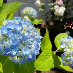 庭/花のある暮らし/紫陽花          2021.6.10(木…(1枚目)