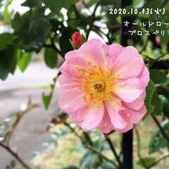 フォロー大歓迎/庭/雨上がり/リミとも部/オールドローズ プロスペリティー/薔薇/...        2020.10.13(火)…