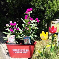 花のある暮らし/KOMERI/フォロー大歓迎/おうち時間/なんじゃ村/千日紅ローズネオン/...         2020.6.7(日) …