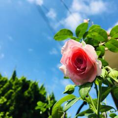 モンクゥール ロサ オリエンティス/薔薇/庭/ガーデニング/フォロー大歓迎/至福のひととき/...     おはようございます🎶今朝も良い天…