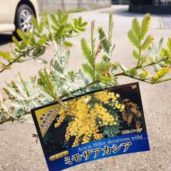 フォロー大歓迎/ホームセンタームサシ/ミモザアカシア/住まい/おでかけ/おすすめアイテム/...   ミモザアカシアの鉢植え🌼大きさも値段…