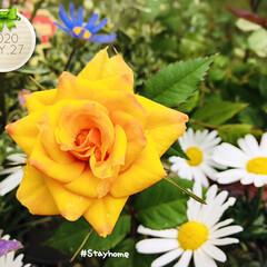 至福の時間/stayhome/おうち時間/おうちタイム/ラベンダー/ブルーデイジー/...  何年か前にスーパーで買った安いミニ薔薇…