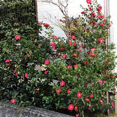 花/冬/おうち 寒いけど綺麗に咲いてます 寒い寒い言って…
