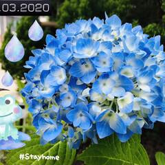フォロー大歓迎/至福の時間/stayhome/おうち時間/花のある暮らし/紫陽花/...        2020.6.3(水)  …