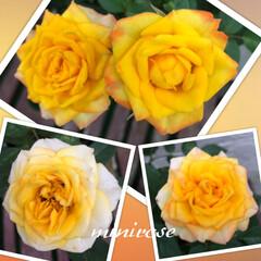 ミニ薔薇/雨季ウキフォト投稿キャンペーン/令和の一枚/フォロー大歓迎/LIMIAファンクラブ/至福のひととき/... ミニ薔薇です•*¨*•.¸¸♪✧  形も…