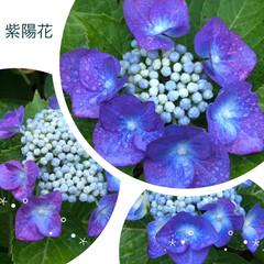母/雨上がり/紫陽花/雨季ウキフォト投稿キャンペーン/令和の一枚/フォロー大歓迎/... 昨日仕事から帰ってきたら、雨に打たれた紫…