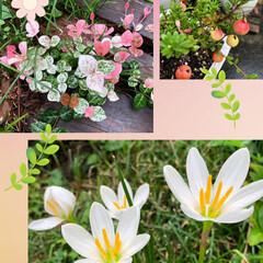 夕焼け/エノコログサ/たますだれ/クランベリー/ハツユキカズラ/暮らし/... 可愛いぃー💞の集めました。  庭の可愛い…