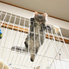 猫のいる暮らし/マンチカン/ペット/猫/にゃんこ同好会 ぼくのお家だからここいても問題ないよね❓…