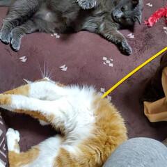 猫のいる暮らし/猫と暮らす 茶↔️モカ7歳これからも元気にすごそーね…(3枚目)