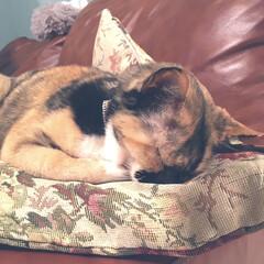 猫/ペット/ねこのいる暮らし/子供のいる暮らし うつ伏せ寝のねこ。息苦しくないのかなぁと…