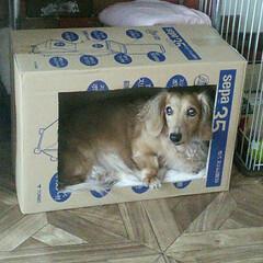 犬派/わんこ同好会 空箱をくりぬいてシートを敷いたら 入った…