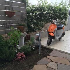 ガーデンアクセサリー/モッコウ薔薇/駐車場/庭リフォーム/ナチュラルガーデン/雑木ガーデン/... 今朝のお庭  一重モッコウ薔薇こんな感じ…