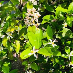 お庭 八朔の花が 咲きました🌸(1枚目) 4月…(2枚目)