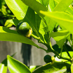 レモン/八朔/ブルーベリー/庭/わたしのお気に入り 育ってます!  花から 小さな実に なっ…(3枚目)