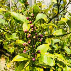 おうち自慢 レモンの木に蕾🍋 ブルーベリーの木に花が…