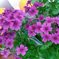 花手毬/バーベナ/花 寄せ植えしたり地植えしたりしたバーベナで…