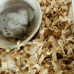 ハムスター/ペット えさ入れのところで寝てる可愛いちびすけで…