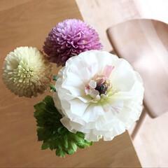 ミモザ/ヒヤシンス/花のある暮らし/住まい ラナンキュラスもまた雰囲気が変わっていい…