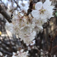 風景/小さい春 さくらんぼがなる桜です🥰