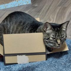 猫/みっちり/箱猫/キジトラ どうみても サイズがあってないよ ミリー…(1枚目)