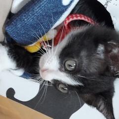 閲覧注意/ハチワレ/仔猫/猫 閲覧注意💕 友人宅に、保護猫が来ました💕…(3枚目)