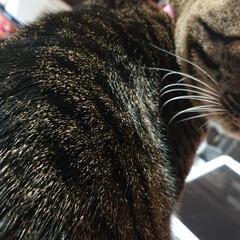 邪魔猫/猫/キジトラ 机に向かうと ノートの上に、ドーンと座る…(2枚目)